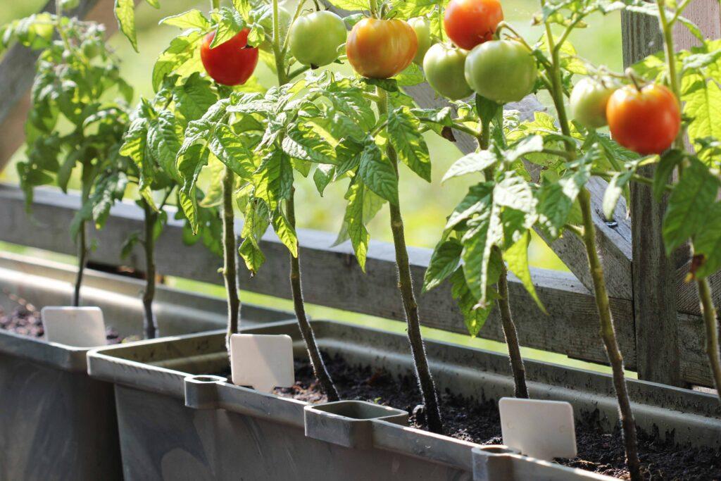 Some people have begun growing vegetables in their balconies or even windowsills