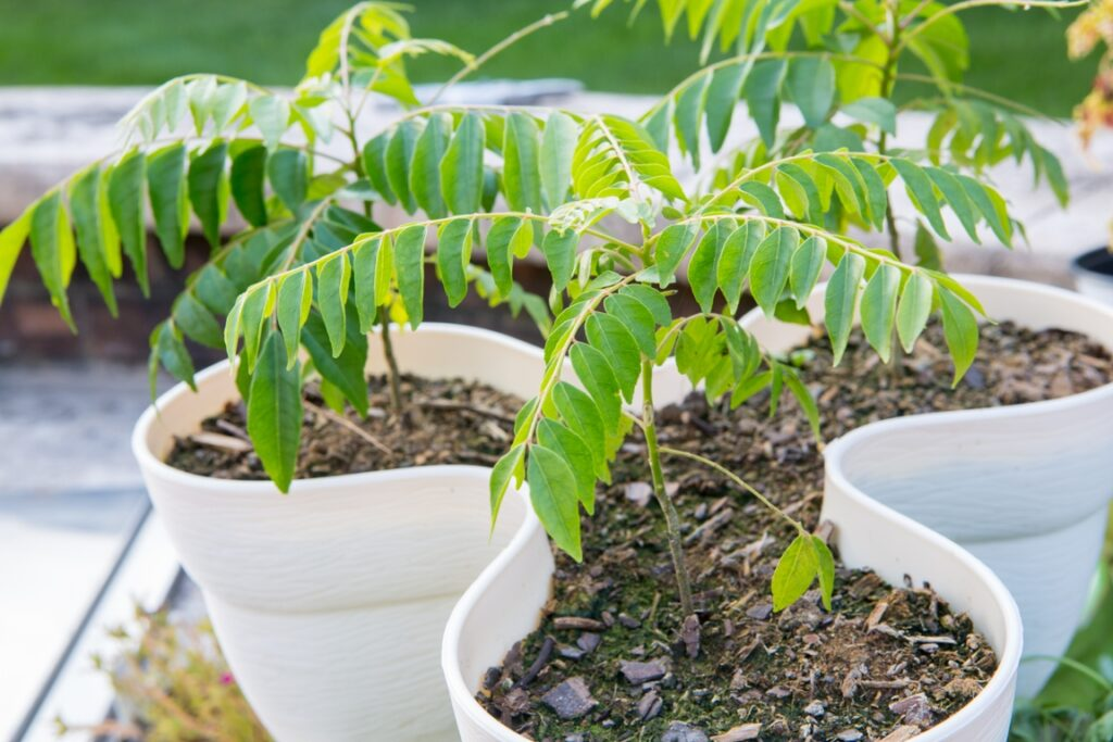 How to Grow it Curry Patta